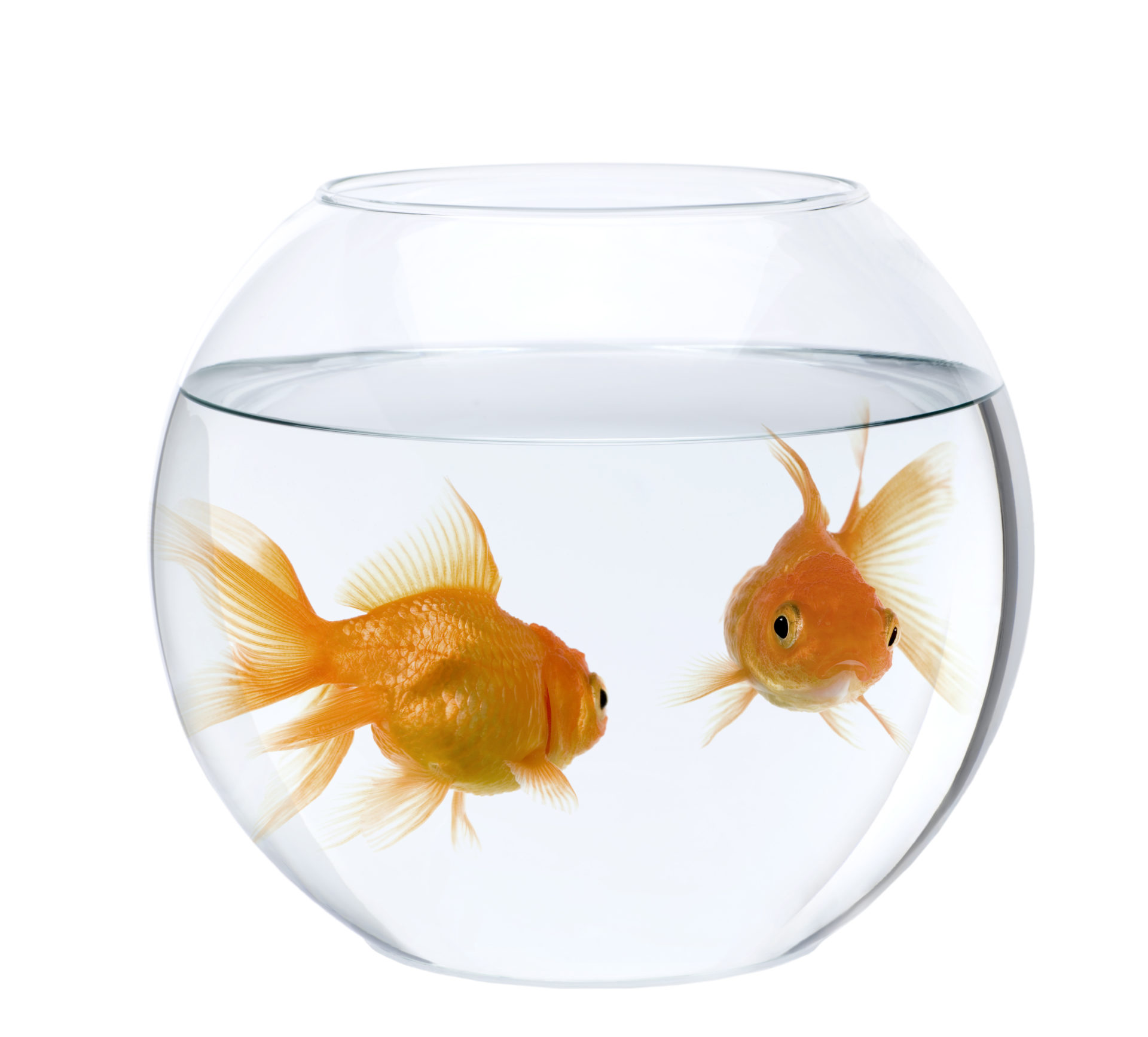 Two goldfish in fish bowl, in front of white background